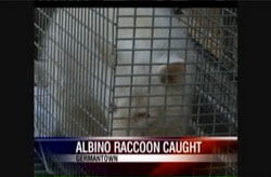 Albino raccoon