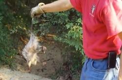Opossum release